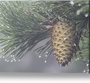 A Pine Cone-inspired Innovation